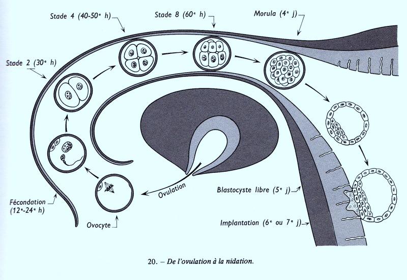Temps rencontre ovule spermatozoide